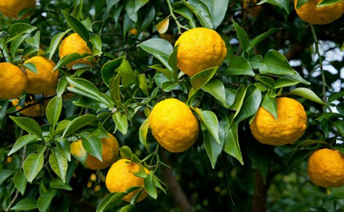 The rare and expensive Asian Yuzu fruit. {image courtesy of DailyMail.com; photo credit  and copyright @Alamy}