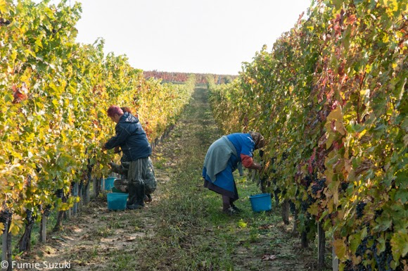 Harvest in Champagne