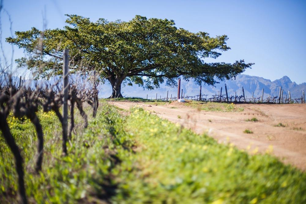 Mulderbosch-Vineyards-52 bobo tree